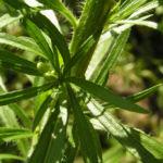 Bild: Kanadisches Berufkraut grün Conyza canadensis