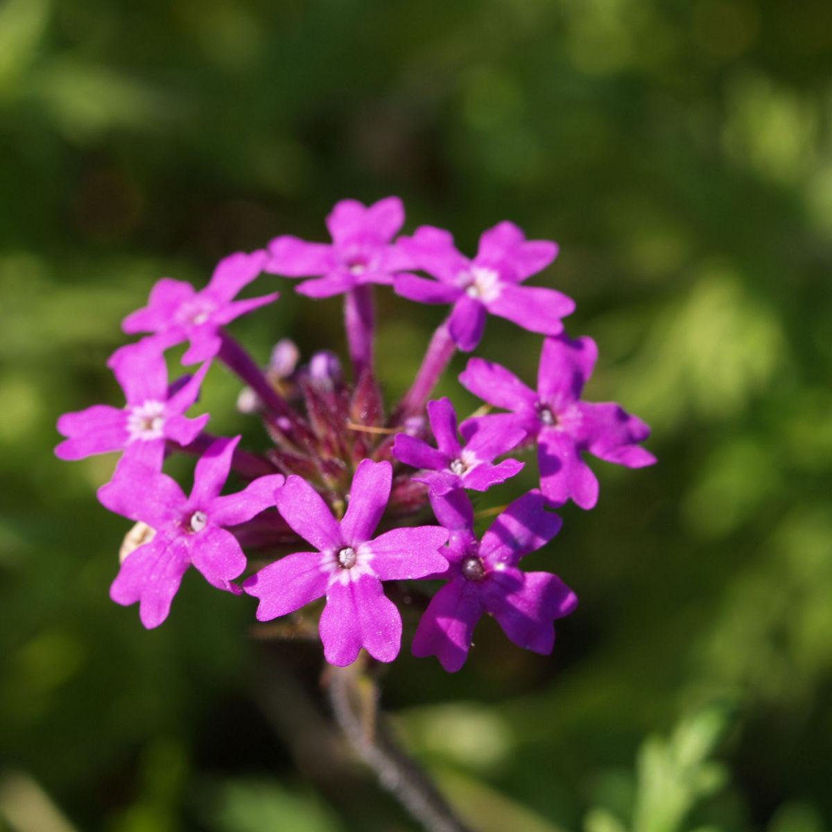 Kanadisches Eisenkraut Bluete lila Verbena canadensis
