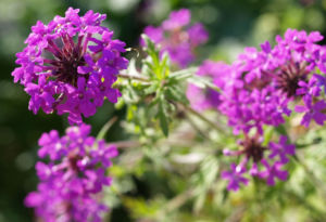 Kanadisches Eisenkraut Bluete lila Verbena canadensis 02