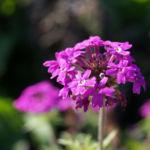 Kanadisches Eisenkraut Bluete lila Verbena canadensis 03