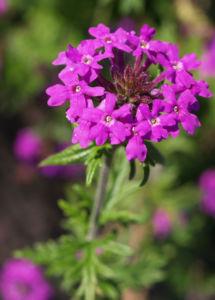 Kanadisches Eisenkraut Bluete lila Verbena canadensis 04