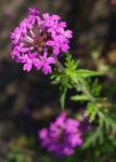 Kanadisches Eisenkraut Bluete lila Verbena canadensis 05