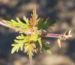 Zurück zum kompletten Bilderset Rosenverbene Kanadisches Eisenkraut Blüte lila Glandularia canadensis