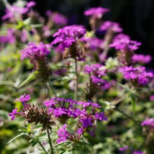 Kanadisches Eisenkraut Bluete lila Verbena canadensis 08