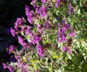 Kanadisches Eisenkraut Bluete lila Verbena canadensis 09