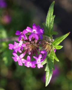 Kanadisches Eisenkraut Bluete lila Verbena canadensis 10