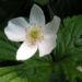 Zurück zum kompletten Bilderset Kanadisches Windröschen Blüte weiß Anemone canadensis