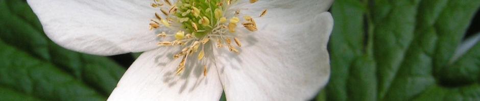kanadisches-windroeschen-bluete-weiss-anemone-canadensis