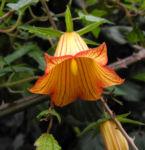 Kanaren Glockenblume Bluete orange Canarina canariensis 04