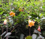 Kanaren Glockenblume Ranken Canarina canariensis 01