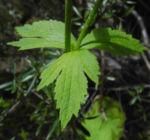 Kanaren Hahnenfuss Blatt gruen Ranunculus cortusifolius 03