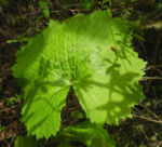Kanaren Hahnenfuss Blatt gruen Ranunculus cortusifolius 06