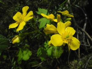 Bild: Kanaren Hahnenfuss Bluete gelb Ranunculus cortusifolius