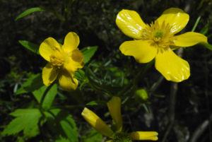 Kanaren Hahnenfuss Bluete gelb Ranunculus cortusifolius 05