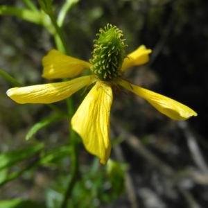 Kanaren Hahnenfuss Bluete gelb Ranunculus cortusifolius 11