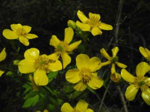 Kanaren Hahnenfuss Bluete gelb Ranunculus cortusifolius 14