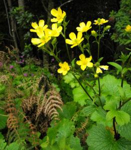 Kanaren Hahnenfuss Bluete gelb Ranunculus cortusifolius 16