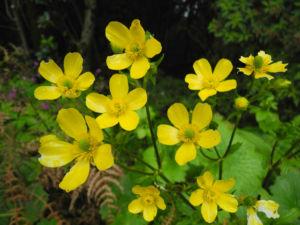 Kanaren Hahnenfuss Bluete gelb Ranunculus cortusifolius 18