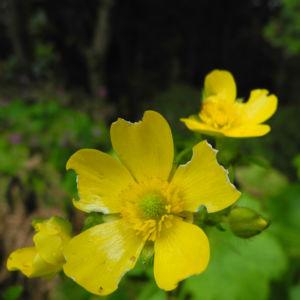 Kanaren Hahnenfuss Bluete gelb Ranunculus cortusifolius 19