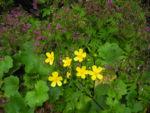 Bild: Kanaren-Hahnenfuß Blüte gelb Ranunculus cortusifolius