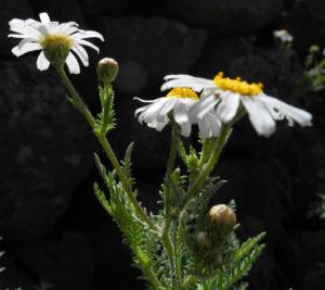 Kanaren Margerite Bluete weiß Argyranthemum adauctum 08