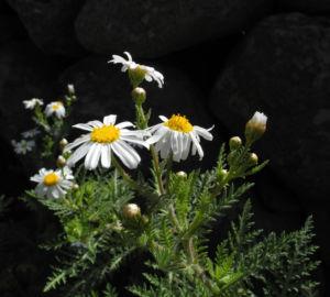 Kanaren Margerite Bluete weiß Argyranthemum adauctum 09