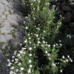 Kanaren Margerite Staude Argyranthemum adauctum 02