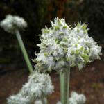 Kanaren Trichternarzisse Bluete weiß Pancratium canariense 06