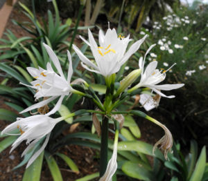 Kanaren Trichternarzisse Bluete weiß Pancratium canariense 09