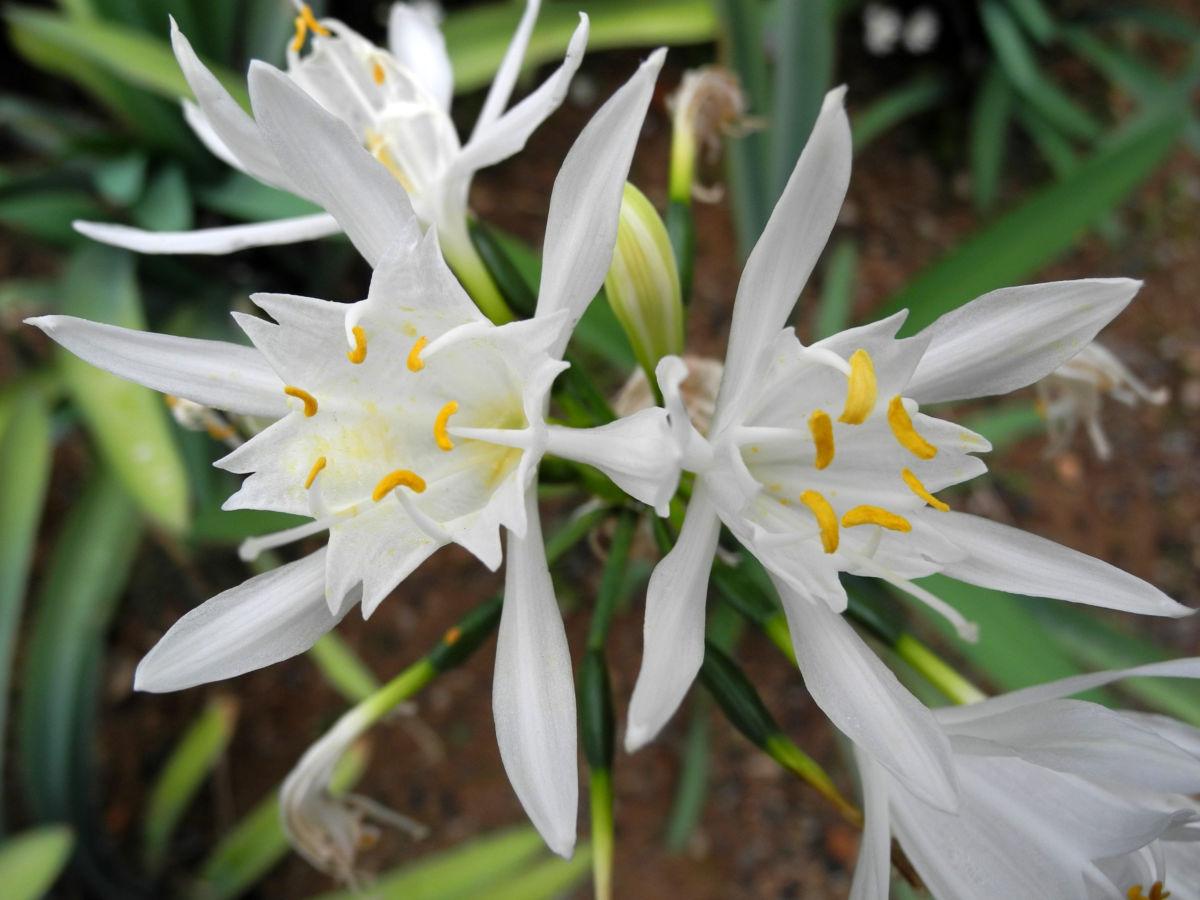 Kanaren Trichternarzisse Bluete weiß Pancratium canariense