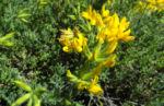 Kanarenwald Hornklee Bluete gelb Lotus campylocladus 02