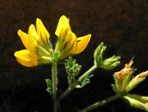 Kanarenwald Hornklee Bluete gelb Lotus campylocladus 04