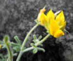 Kanarenwald Hornklee Bluete gelb Lotus campylocladus 19