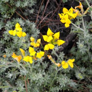 Kanarenwald Hornklee Bluete gelb Lotus campylocladus 21