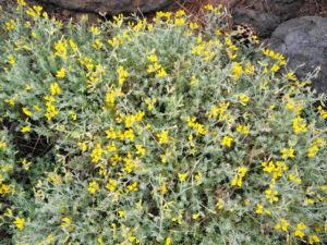 Kanarenwald Hornklee Staude Lotus campylocladus 05