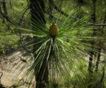Kanarische Kiefer Bluete braun Pinus canariensis 01