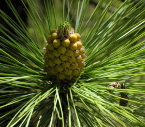 Kanarische Kiefer Bluete braun Pinus canariensis 02