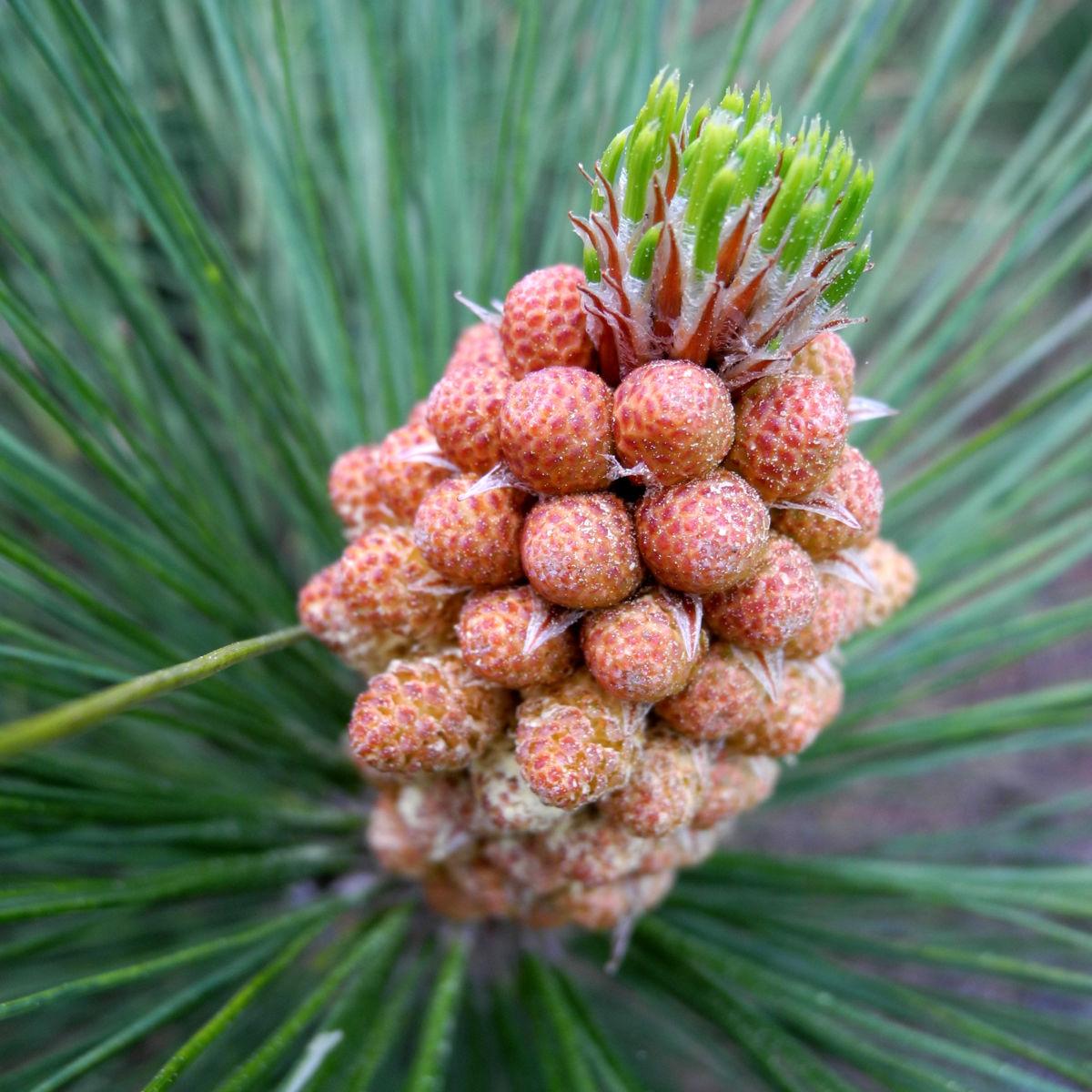 Kanarische Kiefer Bluete braun Pinus canariensis