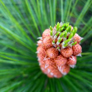 Kanarische Kiefer Bluete braun Pinus canariensis 05