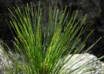Kanarische Kiefer Nadeln gruen Pinus canariensis 02