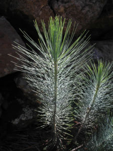 Kanarische Kiefer Nadeln gruen Pinus canariensis 06