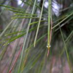 Kanarische Kiefer Nadeln gruen Pinus canariensis 09