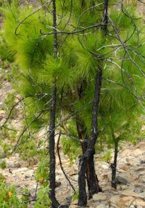 Kanarische Kiefer Nadeln gruen Pinus canariensis 11