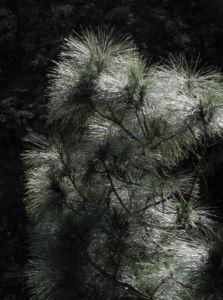 Kanarische Kiefer Nadeln gruen Pinus canariensis 13