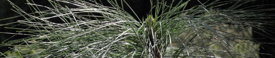 kanarische-kiefer-nadeln-gruen-pinus-canariensis