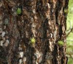 Kanarische Kiefer Stamm Rinde Pinus canariensis 01