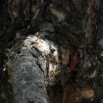 Kanarische Kiefer Stamm Rinde Pinus canariensis 02
