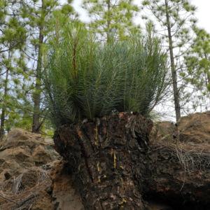 Kanarische Kiefer Stamm Rinde Pinus canariensis 04