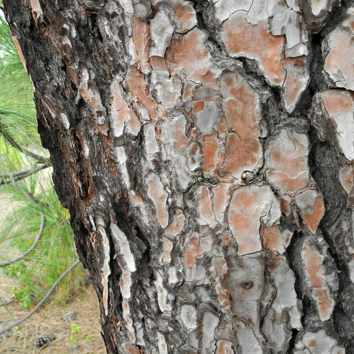 Kanarische Kiefer Stamm Rinde Pinus canariensis