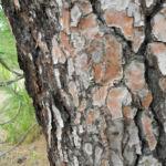 Kanarische Kiefer Stamm Rinde Pinus canariensis 06